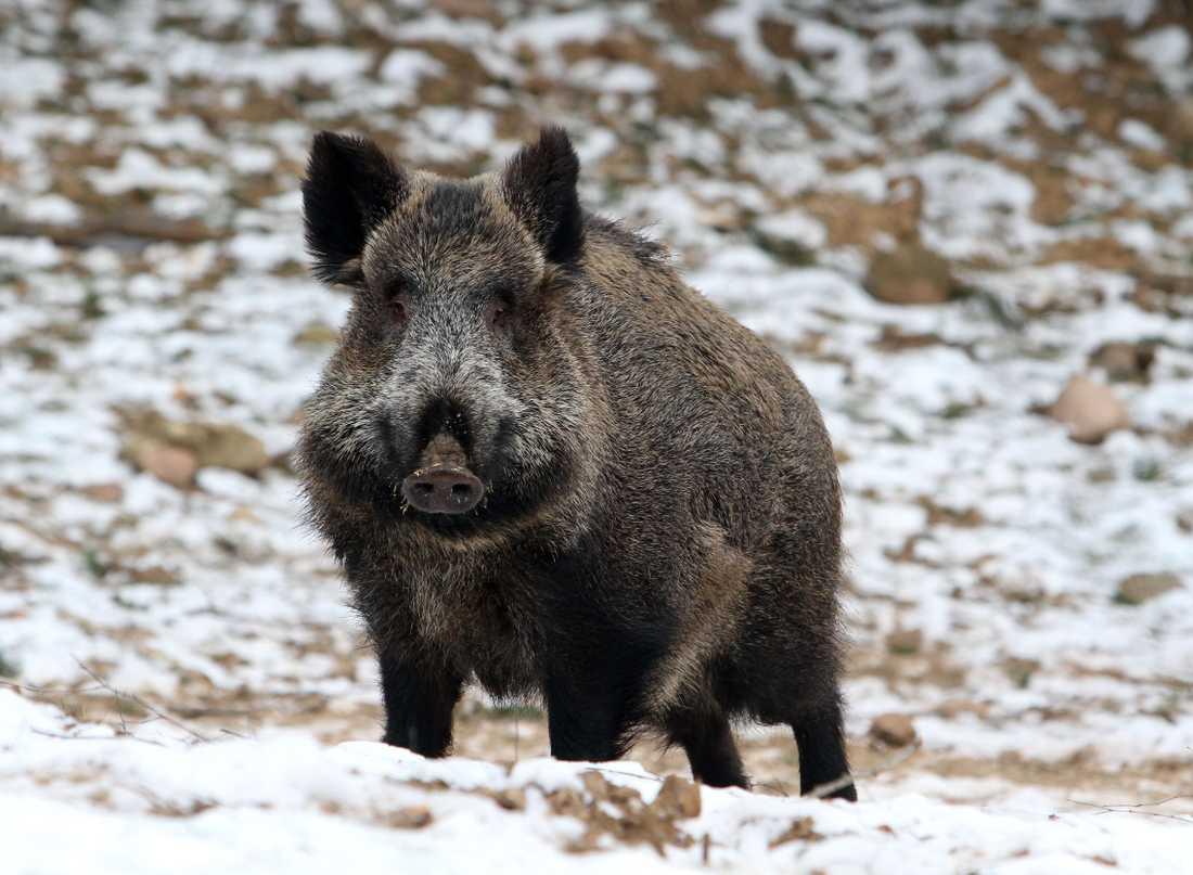 Längs den dansktyska gränsen byggs ett sju mil långt stängsel för att hindra vildsvin från att ta sig in i landet – allt för att skydda dansk svinnäring mot svinpestsmitta. Arkivbild.