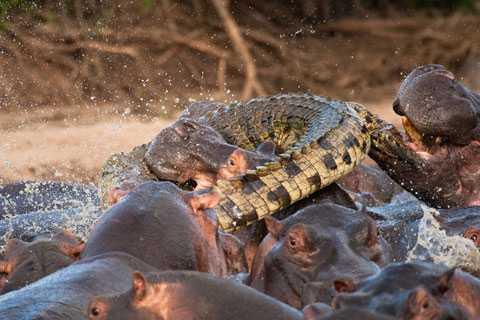 3. Krokodilen försöker slita sig loss men bits till döds. (Klicka på bilderna för att se dem större.)