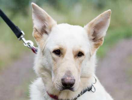 4. Dino, vit schäfer, hane, 3,5 år. Dino var vakthund i en guldsmedsbutik. När butiken byggdes ut fanns ingen plats för Dino och han lämnades bort. doberman@algonet.se