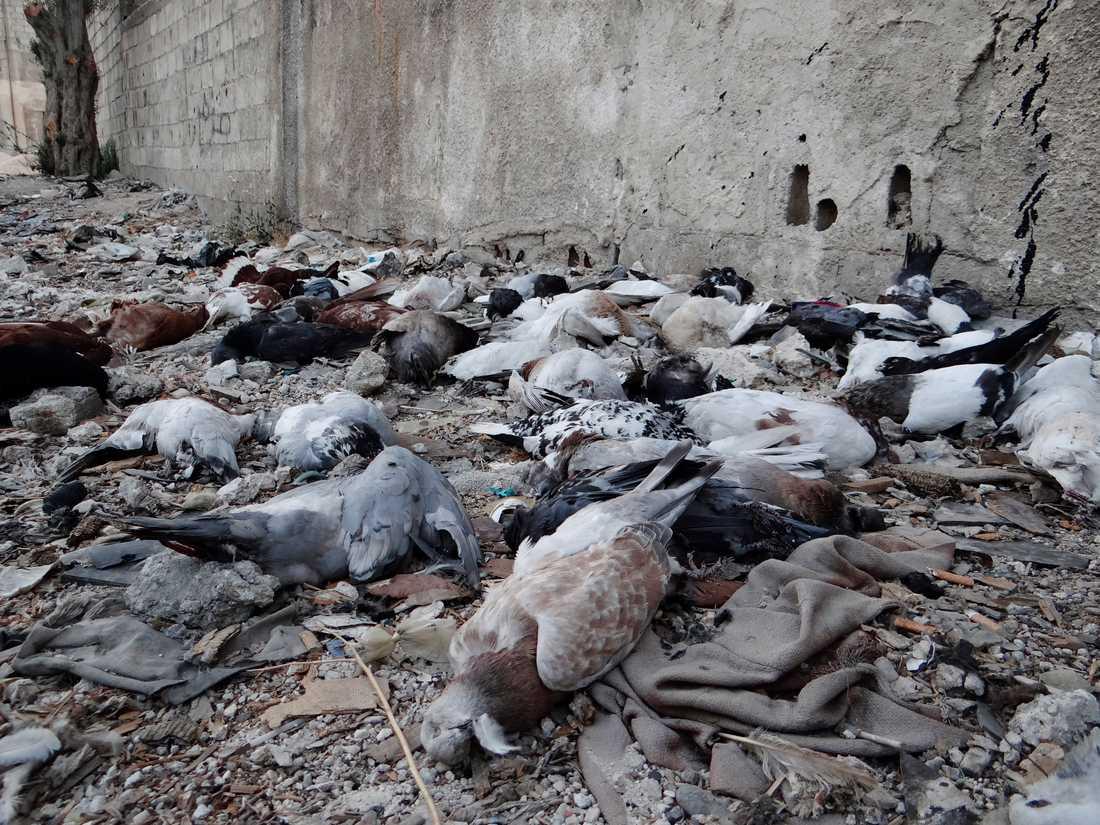 Duvor som uppges ha dött av gasattacken.