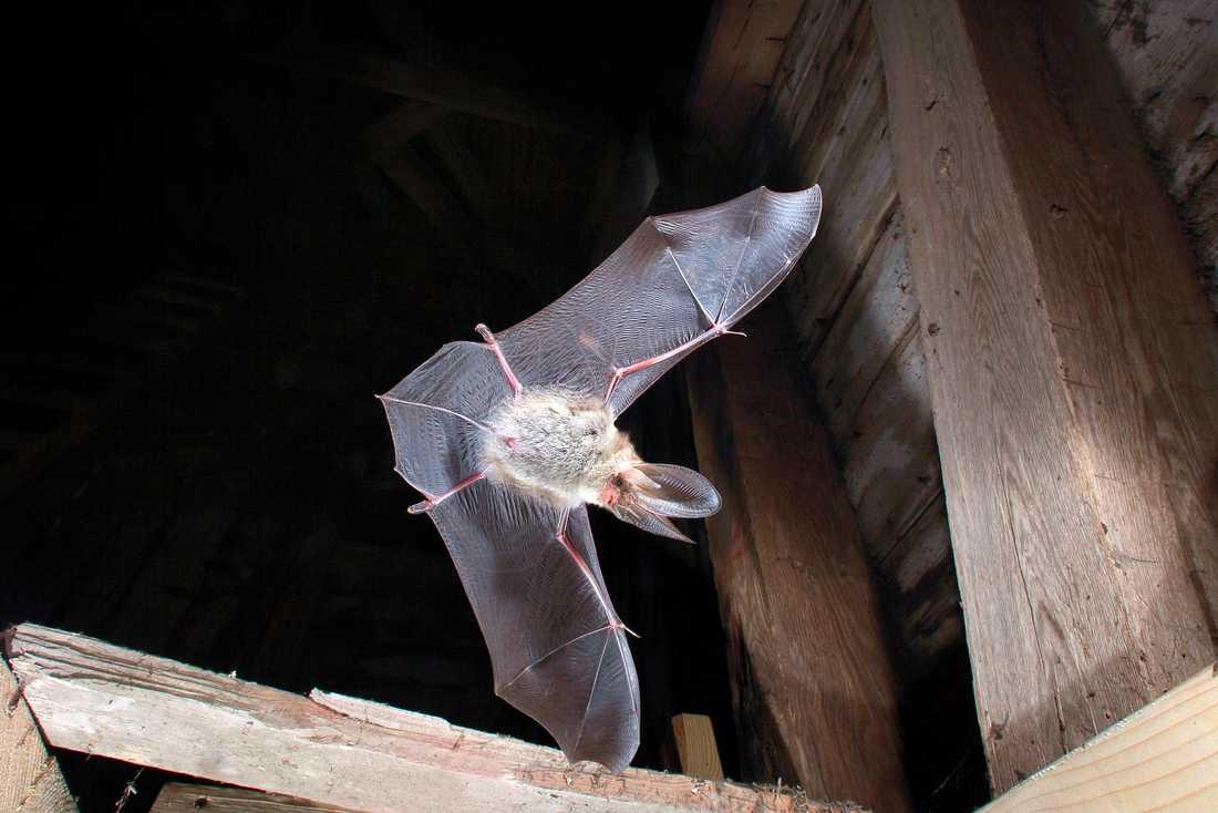 Långörad fladdermus i kyrktorn. Många fladdermöss bor i kyrkor och hotas när kyrkfasader blir upplysta på nätterna. Arkivbild.