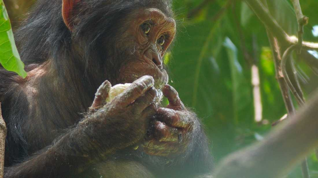 En schimpansunge som äter mango i en film producerad av National Geographic. Arkivbild.