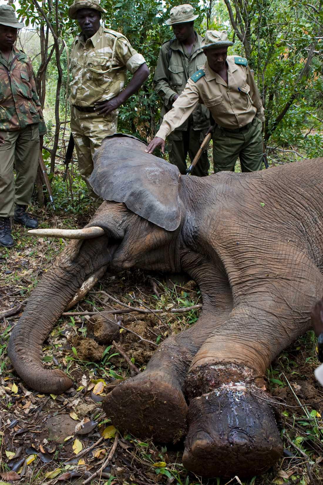 Området bevakas av 300 parkvakter. Här har de hittat en elefant som fastnat i tjuvjägarnas snara.