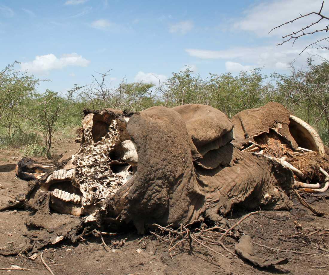 Elefanter och noshörningar lämnas att dö.