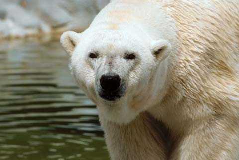 Isbjörnen Debby blev 41 år gammal.