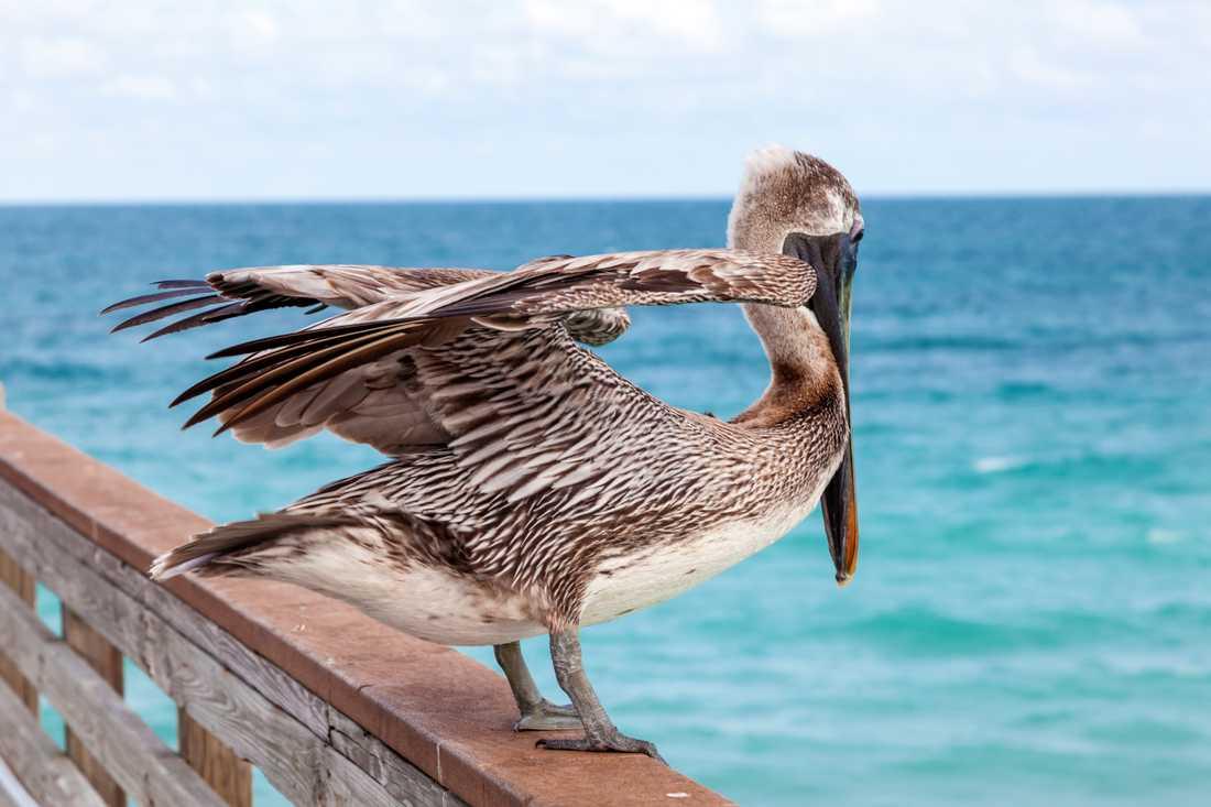 En pelikan i Florida.