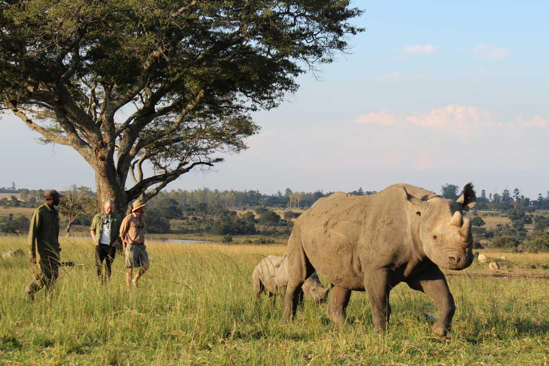 Martin Stenmarck promenerar med Shanu och Tafika, en noshörningsko med dotter.