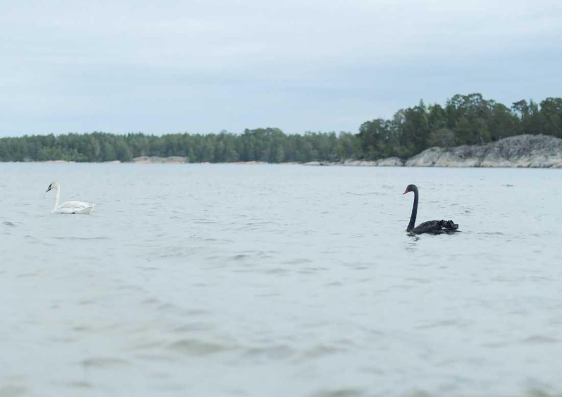 En svart svan har siktats vid Gränsö utanför Västervik.