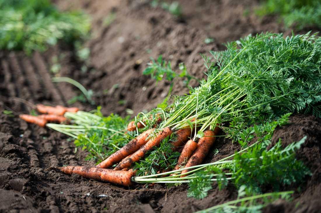 Sverige bedöms i dag vara självförsörjande på tre livsmedel – morötter, socker och spannmål – men på grund av att lantbruket och livsmedelsproduktionen är beroende av import av viktiga insatsvaror som exempelvis drivmedel och gödningsmedel är graden av självförsörjning i praktiken noll. Arkivbild.
