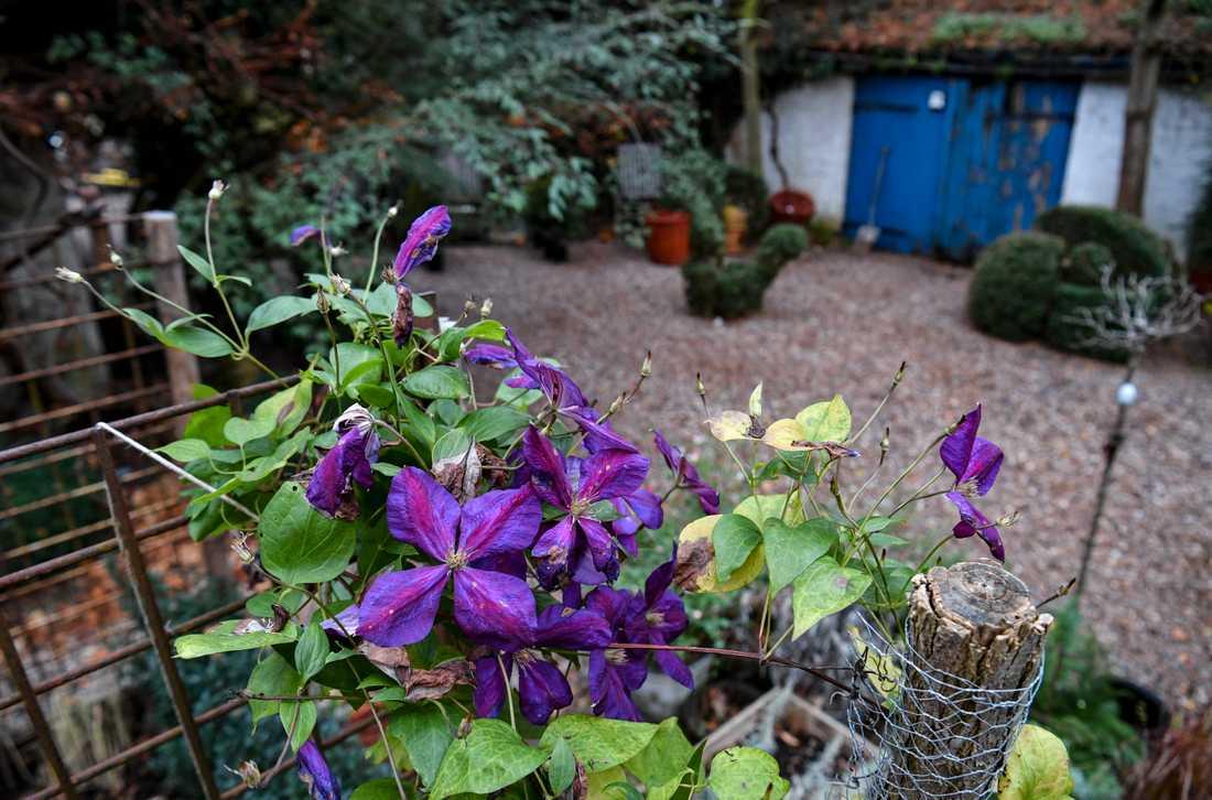 Clematis i en trädgård. Arkivbild.