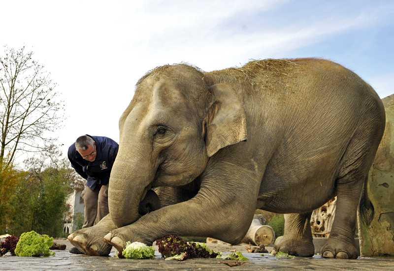 Den 20-åriga elefanten Panang lär sig stretcha tillsammans med sin tränare, Andi Fries, på Tierpark Hellabrunn Zoo i München.