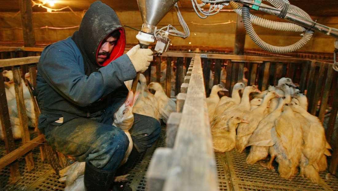 Det finns ingen etisk eller ekologiskt producerad gåslever, därför bör Sverige totalförbjuda det och så kallad foie gras, anklever, skriver debattören. Bilden är från en ankleverfarm i Kalifornien 2003 och visar hur ankor tvångsmatas.