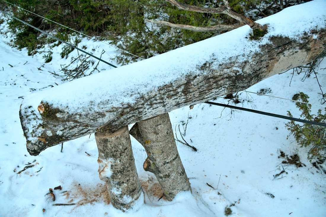 Träd som fallit över elledningar efter stormen Alfrida. Arkivbild.
