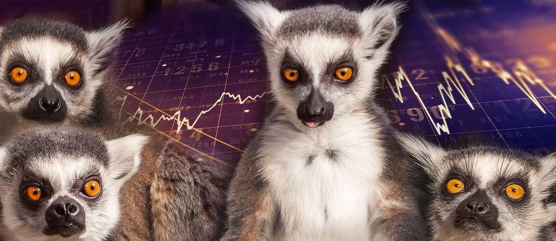 Är du bättre på aktier än Skansens lemurer?