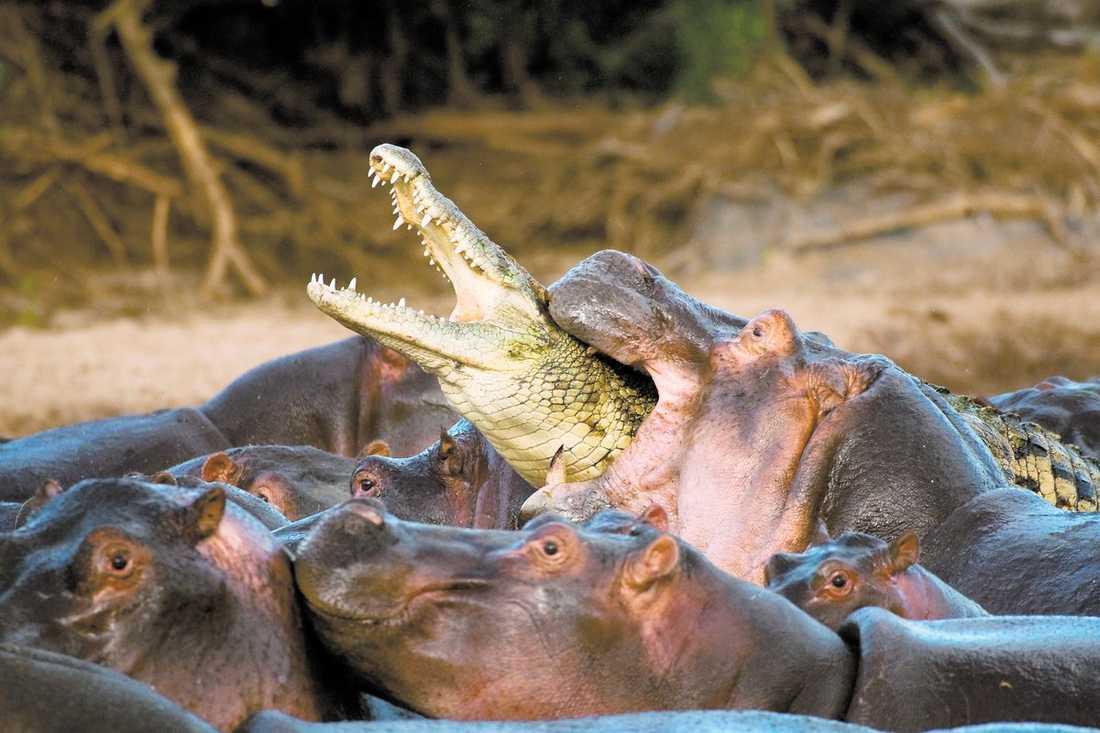 chanslös En krokodil försökte fånga en flodhästunge, men vuxna flodhästar kom till ungens undsättning. Det dödliga dramat inträffade i Tanzanias nationalpark Serengeti.