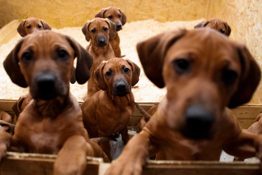 Hundsmugglare kan få det lättare att verka om lagen ändras, larmar Jordbruksverket och Tullverket. Dessa Rhodesian Ridgeback-valpar har inget med smugglingen att göra. Arkivbild.