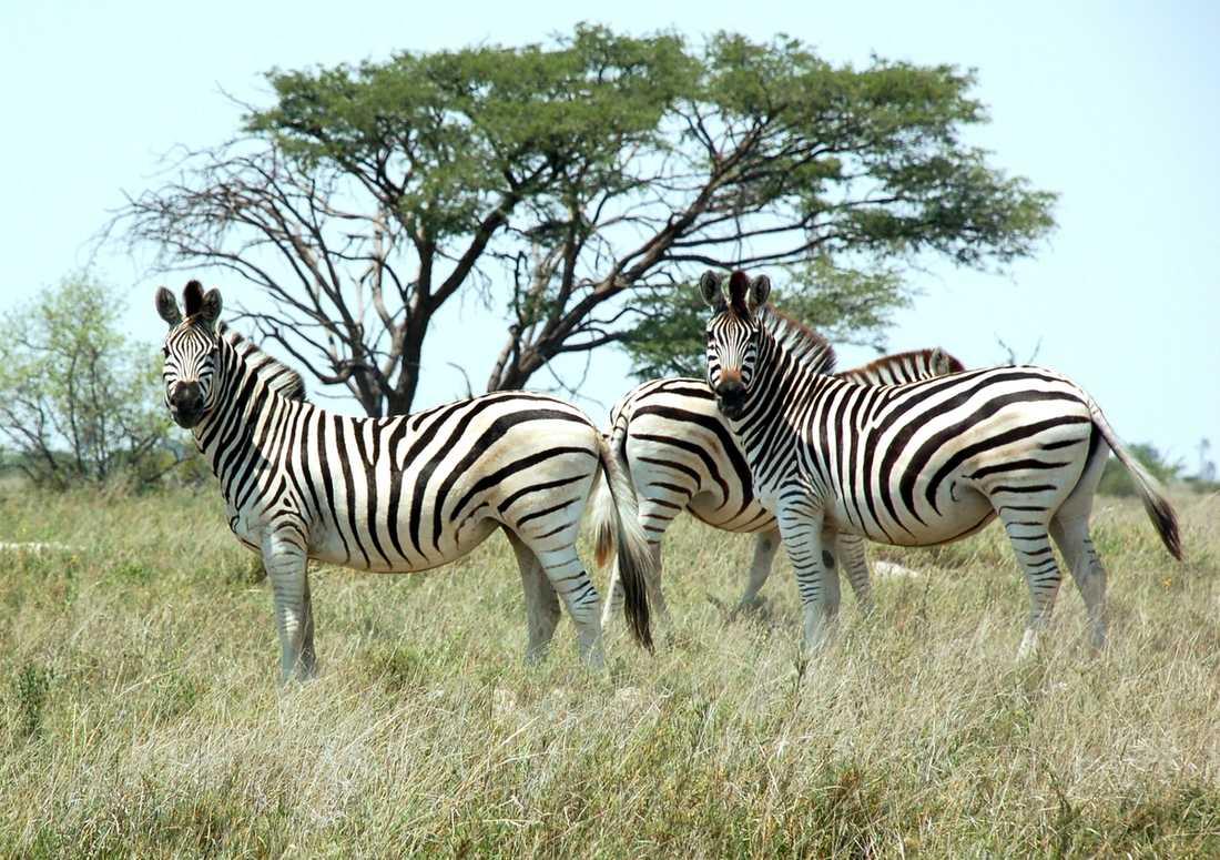 ...liksom zebror...