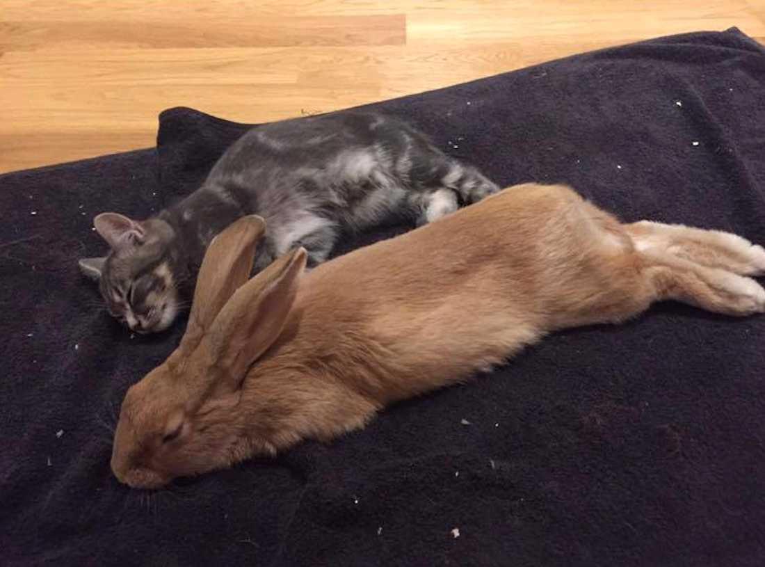 Katten och kaninen är bästa vänner.