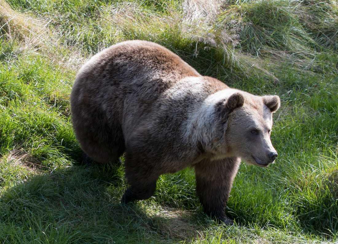 Under årets björnjakt i Västerbottens län får 21 björnar fällas. Arkivbild.