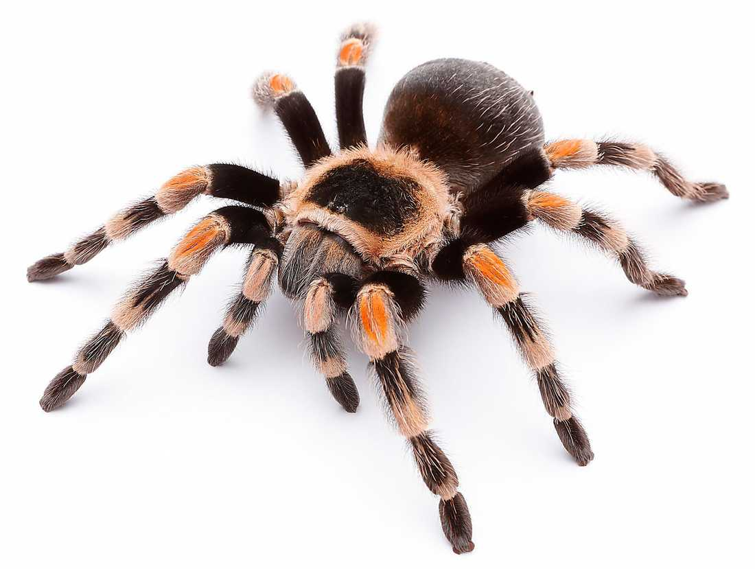 Det finns många olika arter  av tarantellor, eller fågelspindlar.  Flera av de spindlar som finns  i Turkiet är giftiga.