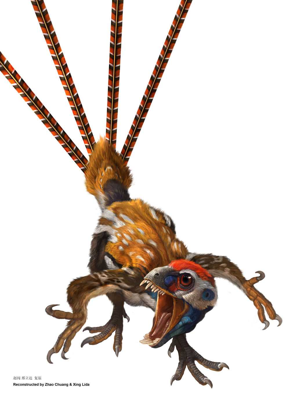 Inte större än en duva Epidexipteryx hui hade extremt långa stjärtfjädrar och ett runt, nästan apliknande huvud.