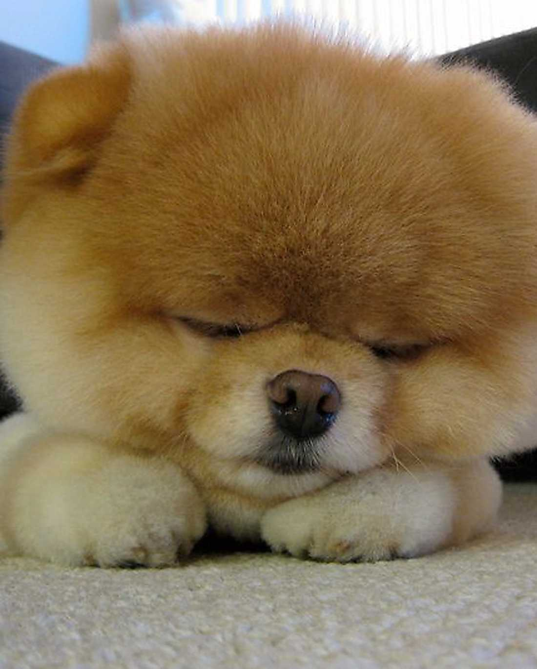Hunden Boo.