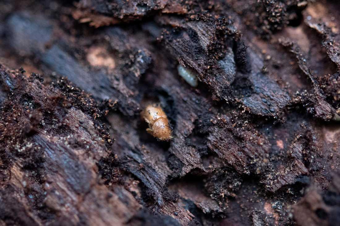 Granbarkborren orsakade stora skogsskador i fjol. Nu svärmar de fruktade insekterna igen. Arkivbild.