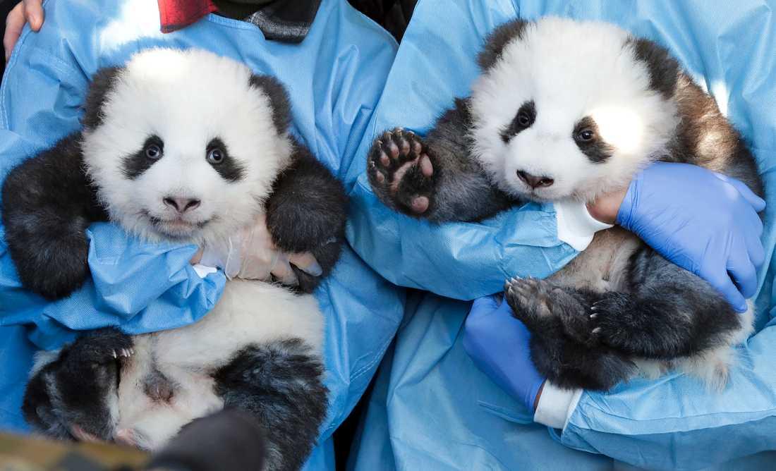 Meng Yuan och Meng Xiang framträdde inför ett pressuppbåd på djurparken i Berlin.
