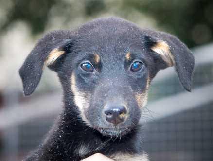 8. Lady, jämthund/border collie, tik, 13 veckor. Lady kom till genom en oönskad parning på en gård för hemlösa hundar. Måste hitta ett hem inom två veckor, annars väntar avlivning. doberman@algonet.se