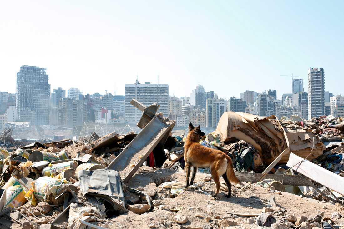En sökhund från en fransk räddningsgrupp letar efter överlevare från tisdagens explosion i Beirut under fredagen.