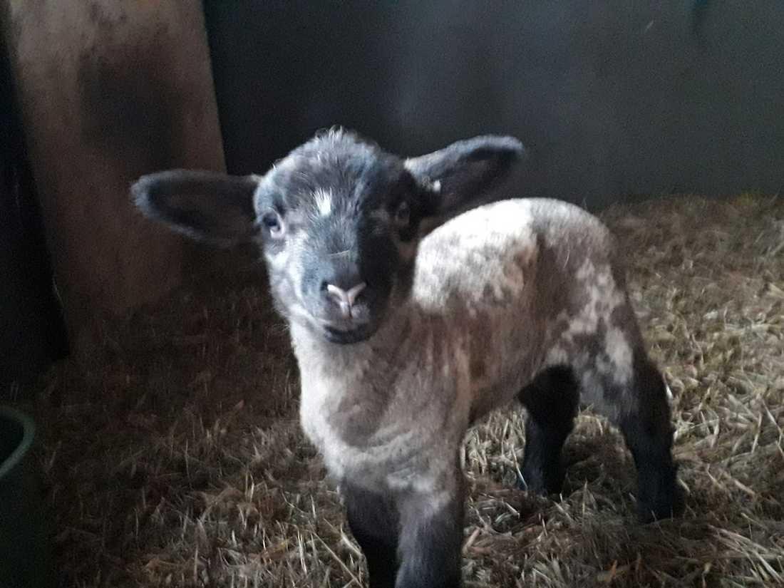 Lammet riskerar att inte överleva utan sin mamma.