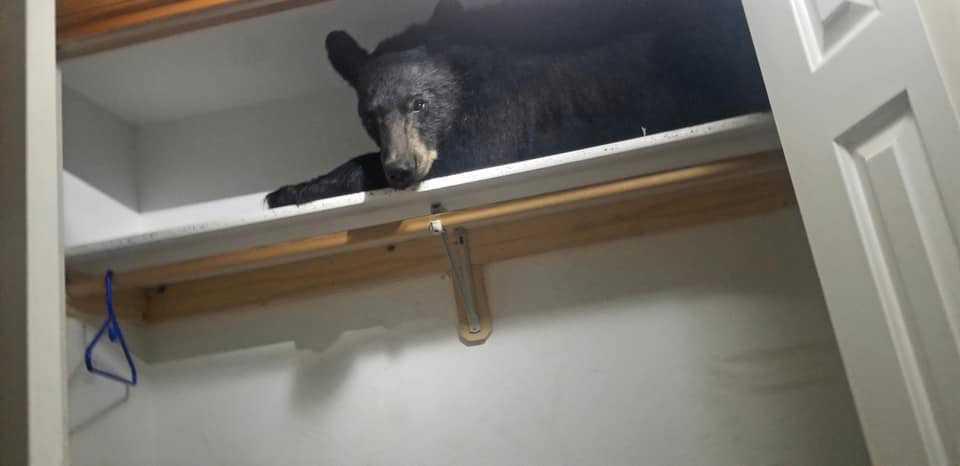 Björnen blev trött och somnade på en hylla i en garderob.