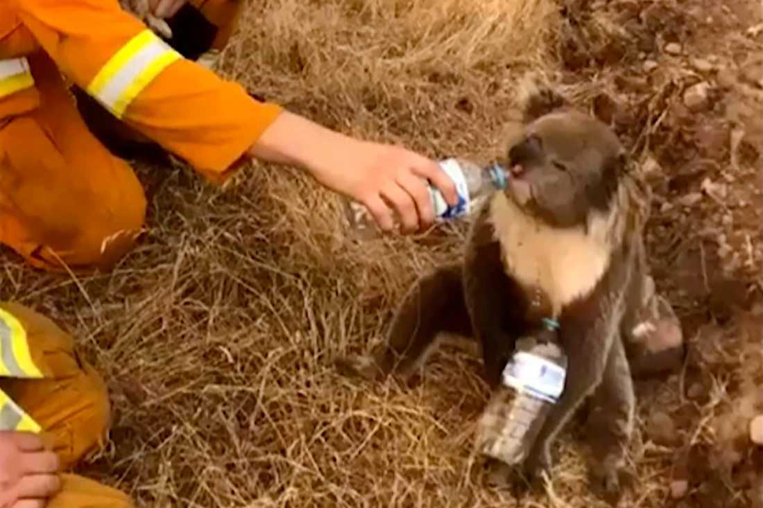 En brandbekämpare bjuder en koala på vatten i december förra året. Arkivbild.