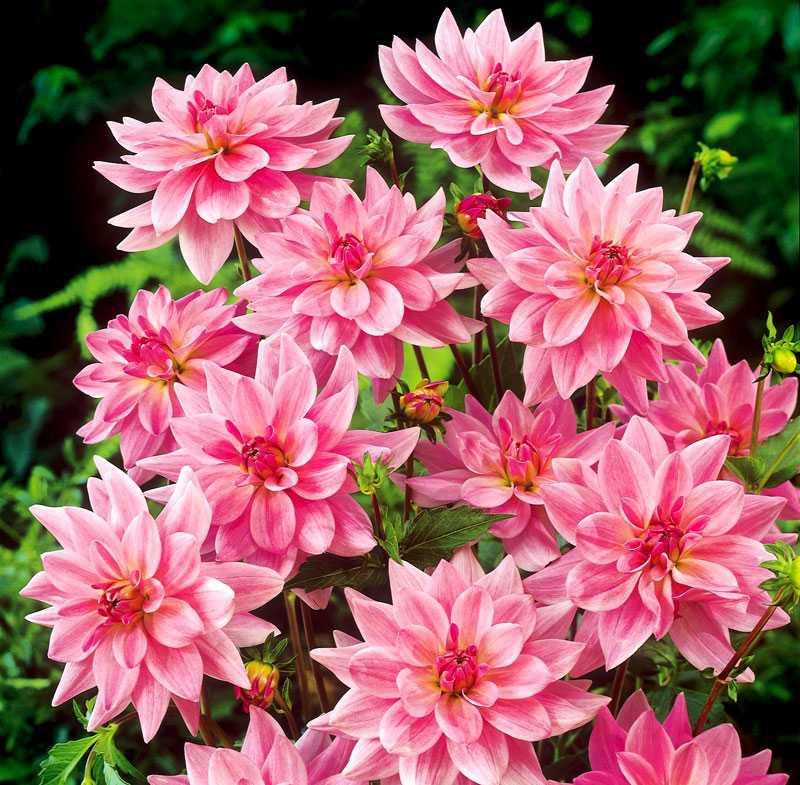 Onesta. Meterhöga, härligt rosa dahlior. www.weibulls.se