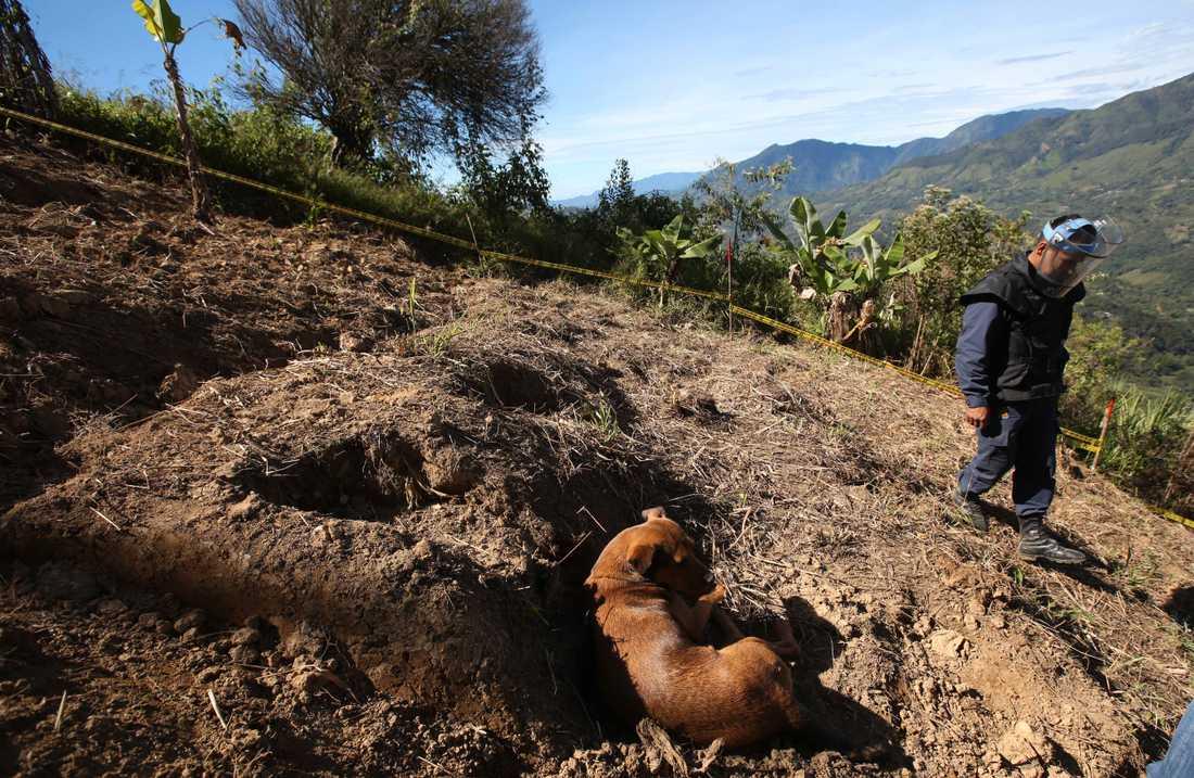 En hund står i ett fält som har röjts på minor av soldater i Cocorna i Colombia. Arkivbild.
