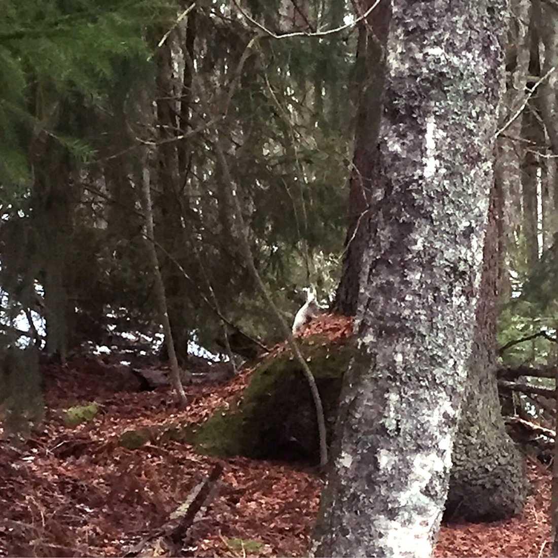Emma, var omkring fem meter från ekorren, och tog fram mobilen och fotograferade.