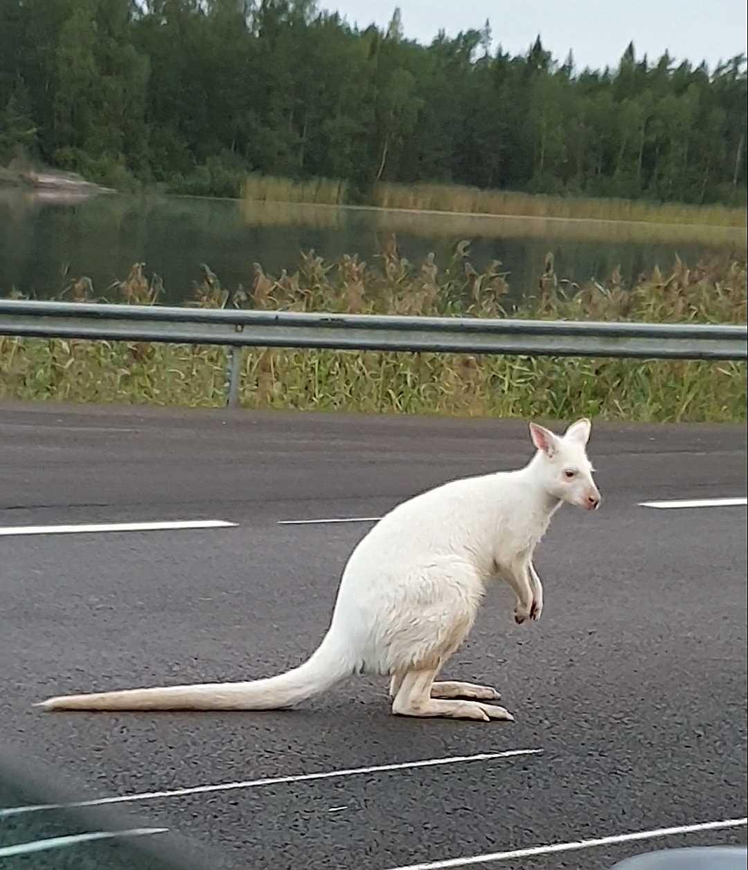Den snövita kängurun – som egentligen är en vallaby – var på rymmen.