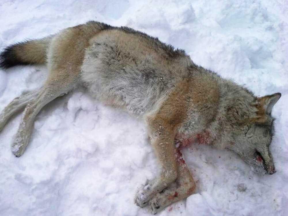 En varg som skjutits från en helikopter i Rendalen