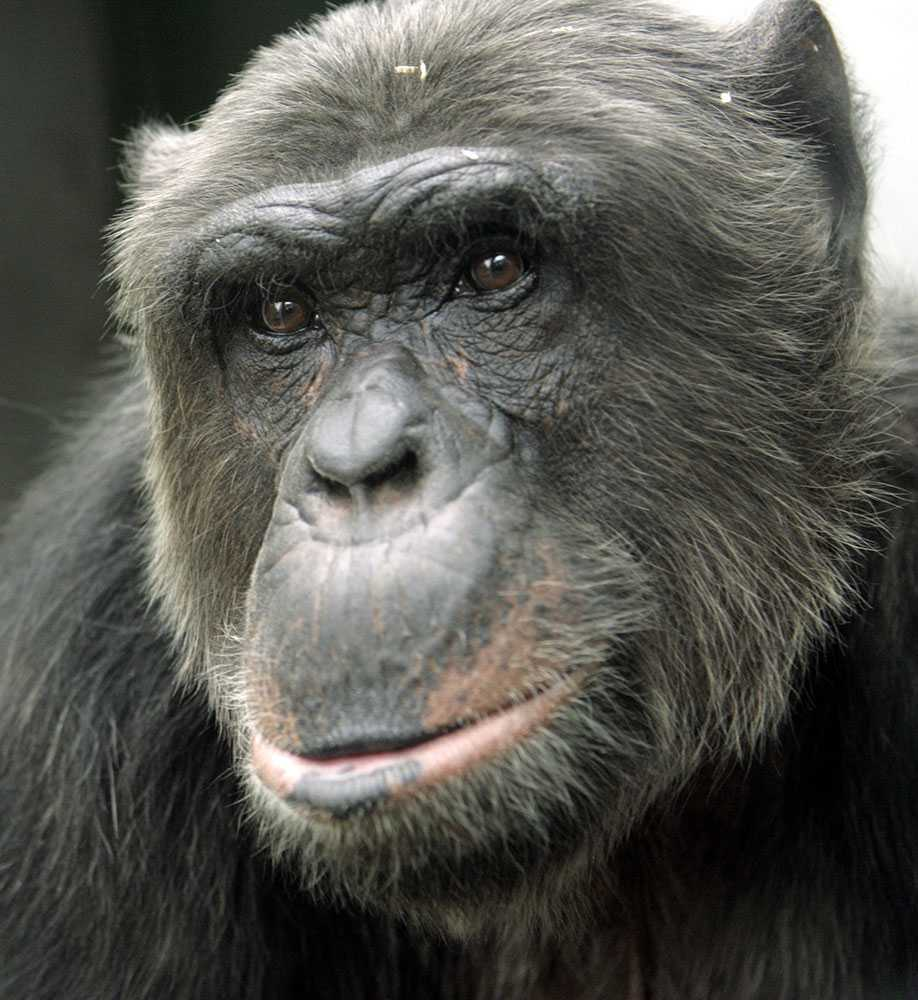 Uppstod människan ur ett kärleksmöte med en chimpans och ett vildsvin? Det menar en genetiker.