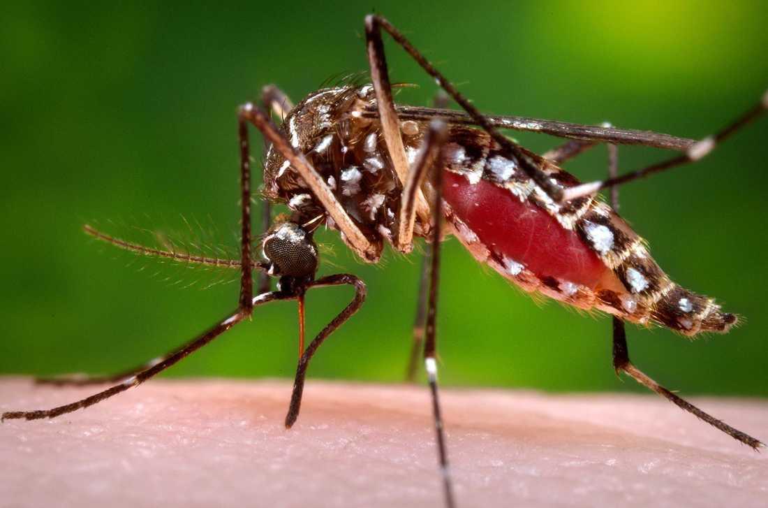 En honmygga av arten Aedes aegypti. Samma art som sprider det fruktade viruset.