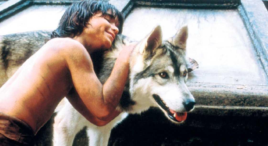 vargvalpar planteras Mycket pekar på att de svenska myndigheterna kommer använda sig av Mowgli-metoden, plantera in valpar i existerande flockar för att motverka inaveln som råder.