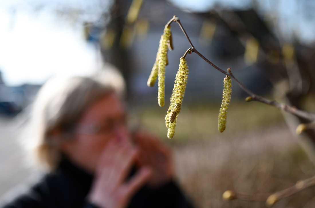 Hassel – ett problem för många pollenallergiker. Nu drar säsongen igång på allvar i södra delen av landet. Arkivbild.