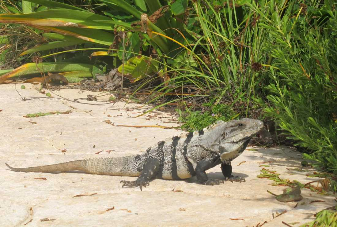 I Colombia består delar av påskmiddagen av sköldpadda och leguaner.