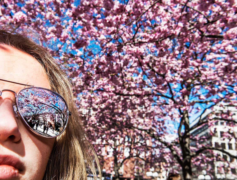 Soldränkta körsbärsträd i Kungsträdgården.