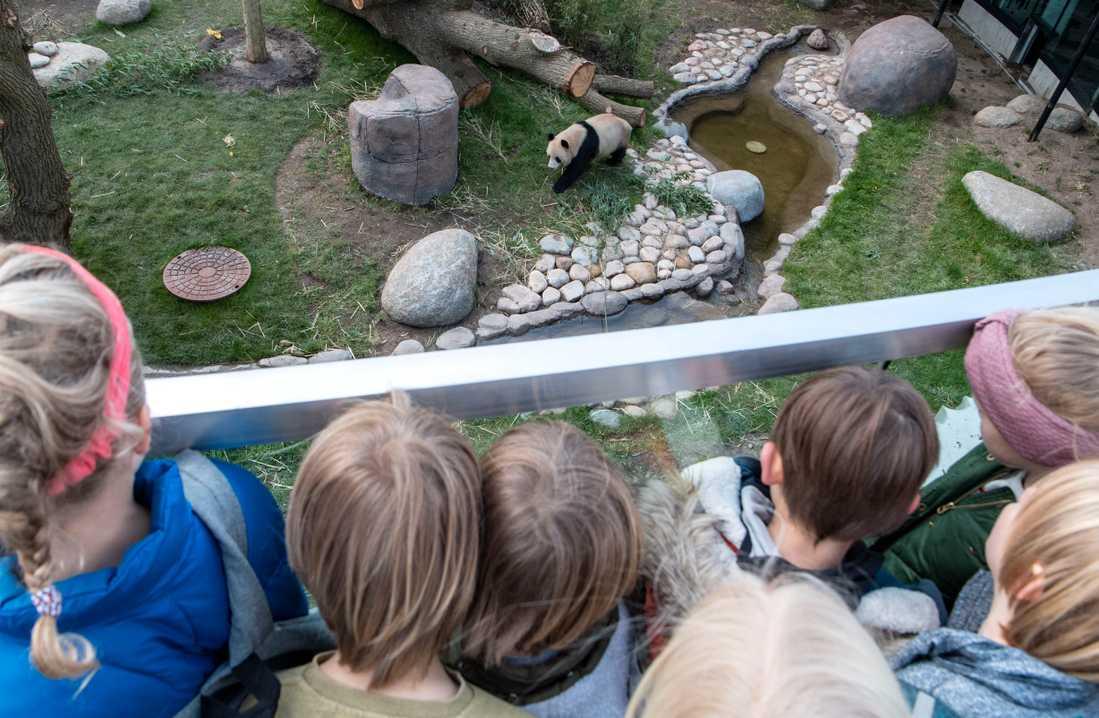 Pandan Xing Er på Københavns Zoo i fjol. Arkivbild.