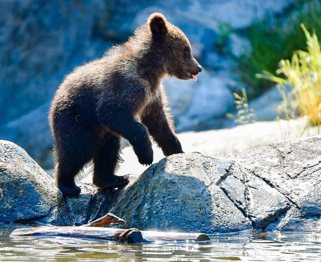 En död björnunge är borta. Arkivbild.