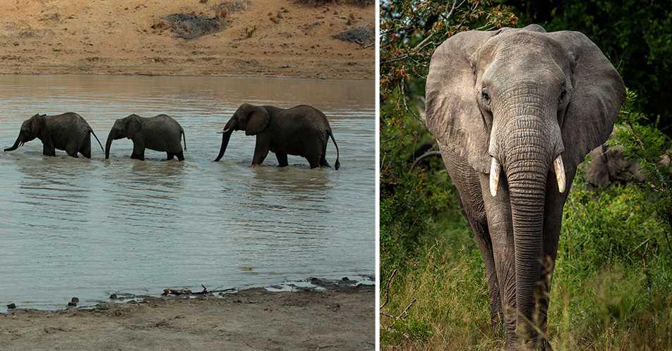 En av tjuvjägarna tros ha blivit ihjältrampad av en elefanthjord. Arkivbilder.