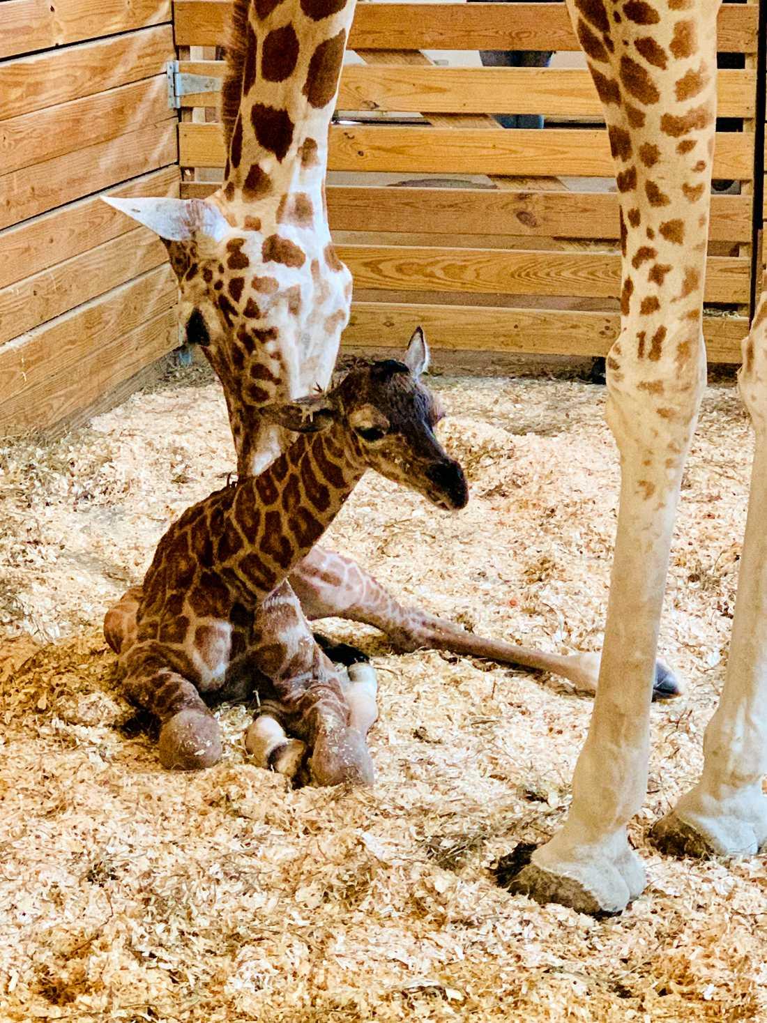 April och den nyfödde kalven.