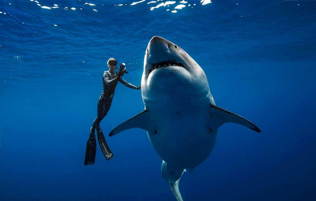 En vit haj som tros vara Deep Blue simmar tillsammans med en dykare utanför Hawaii i veckan.