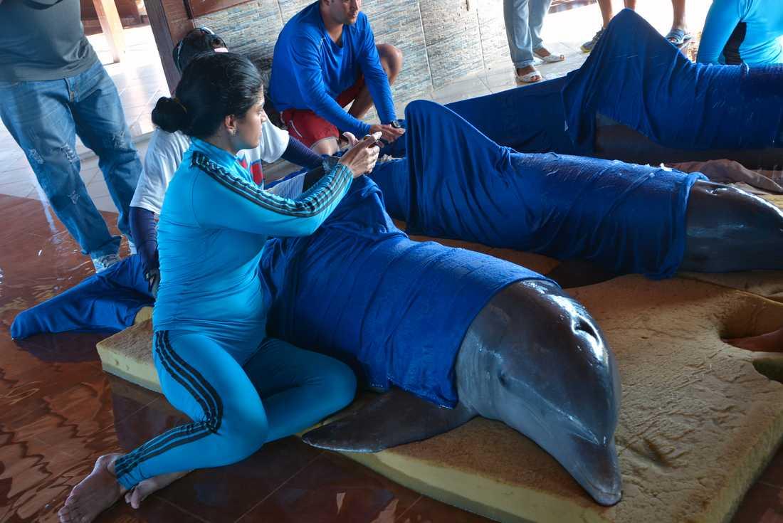 Delfiner från Cayo Guillermodelfinariet på Kuba flyttas söker plats.
